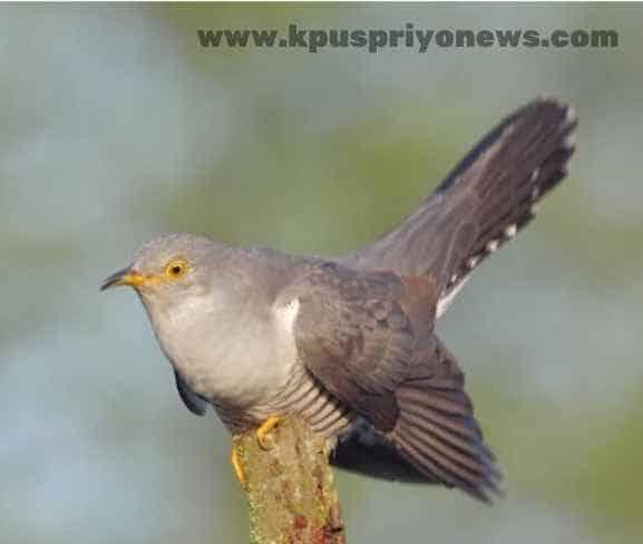 Birds name - cuckoo bird