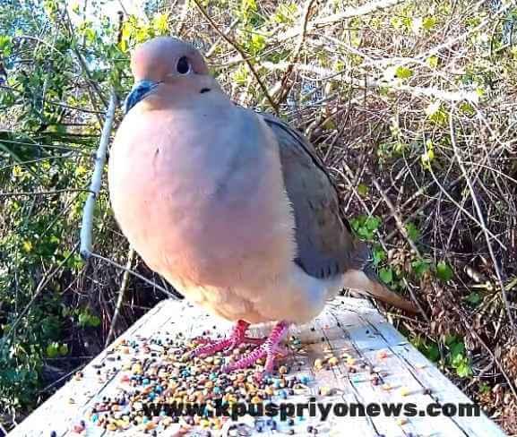 Birds name - dove bird