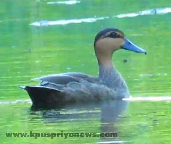 Birds name - duck bird
