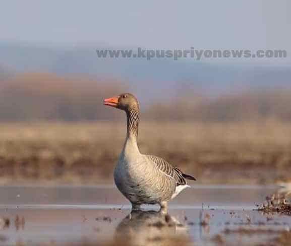 Birds name - goose bird