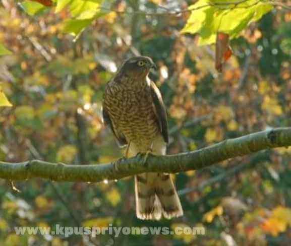 Birds name - hawk bird