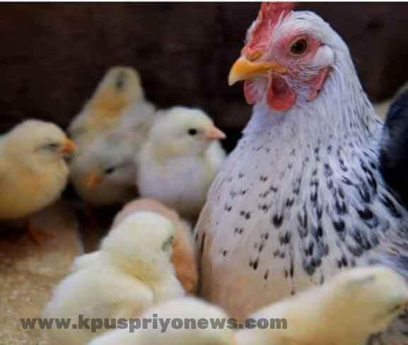 Birds name - hen bird