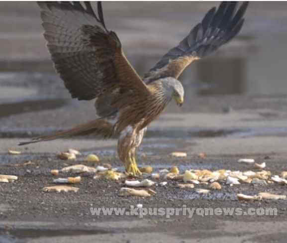 Birds name - kite bird