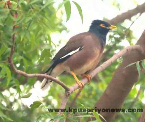 Birds name - mynah bird