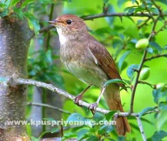 Birds name - nightingale bird