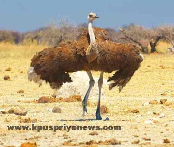 Birds name - ostrich bird