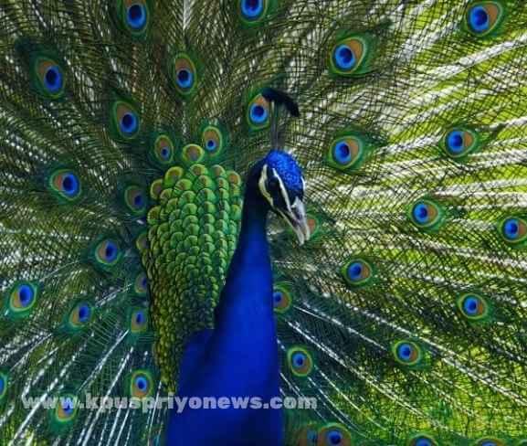 peacock-bird